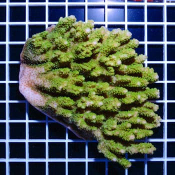 Acropora sp. (cut to order) (A81)