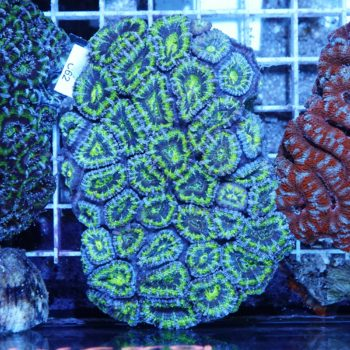 Acanthastrea sp.  (C62) (cut to order)