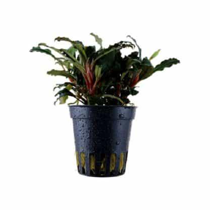 Tropica Bucephalandra Sp. 'Red'