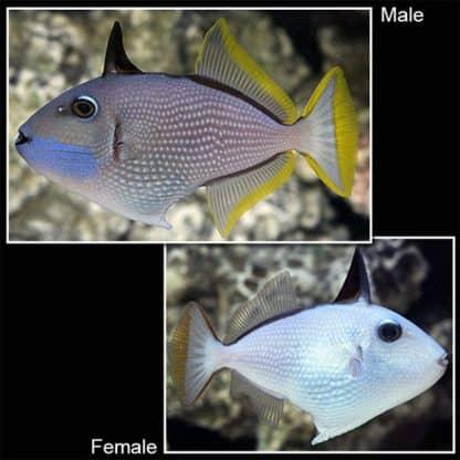 Xanthichthys auromarginatus female