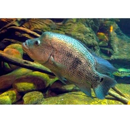 Parachromis dovii – Wolf Cichlid