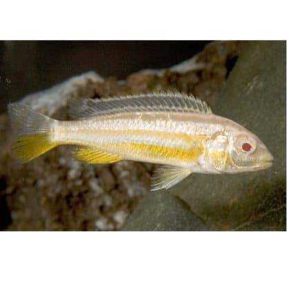 Pseudotropheus auratus albino