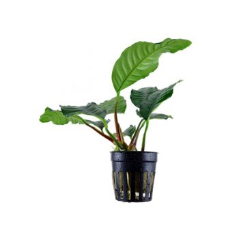 Tropica Anubias Barteri 'Coffeefolia' Potted