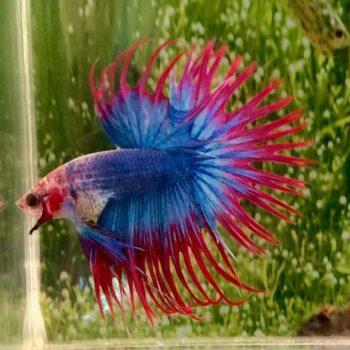 Betta splendens Male (Crowntail)