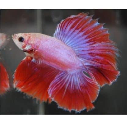 Betta splendens – Siamese Fighting Fish male (double tail)