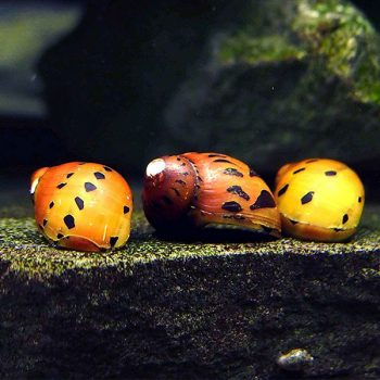 Spotted Nerite Snail MIX