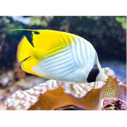 Chaetodon auriga S – Threadfin Butterflyfish