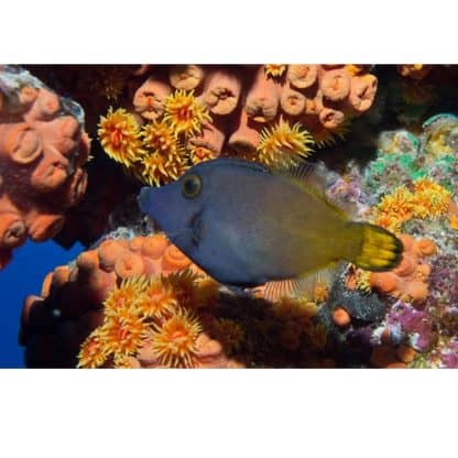 Pervagor aspricaudus – Orangetail Filefish