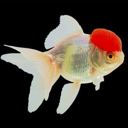 Carassius auratus – Red lionhead Goldfish