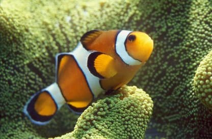 Amphiprion Ocellaris – False percula