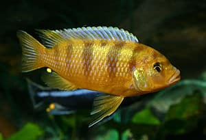 Pseudotropheus MIX cichlids
