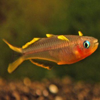 Pseudomugil furcatus – forktail rainbow