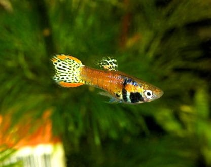 Guppy neon tiger