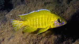 Aulonocara peacock yellow