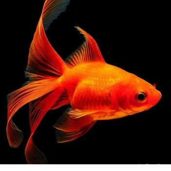 Red Fantail goldfish