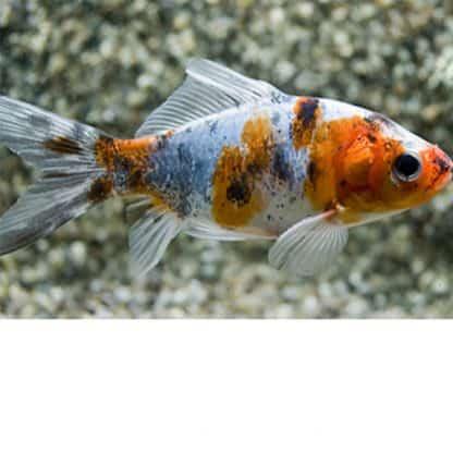 Carassius auratus – Shubunkin Goldfish