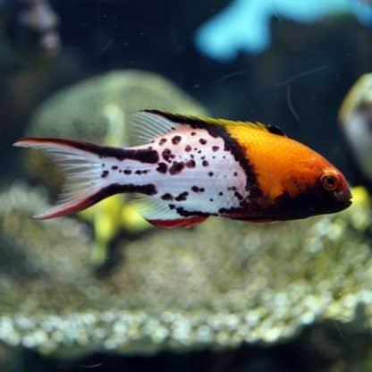 Bodianus anthioides M – Lyretail Hogfish