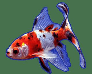 Goldfish shubunkin
