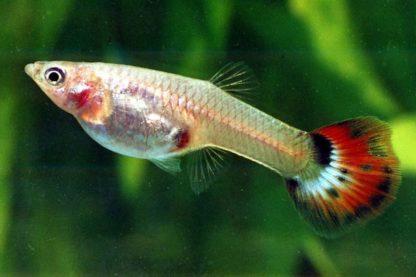 Guppy Snakeskin Red delta Females