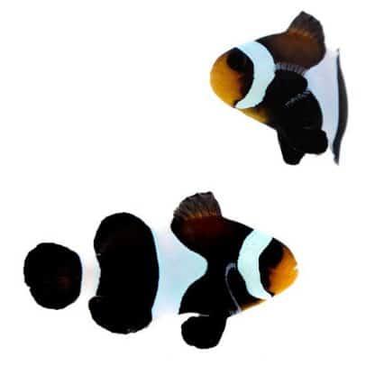 Amphiprion Ocellaris Black Pair