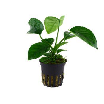 Tropica Anubias Barteri Caladifolia
