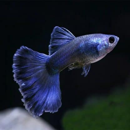 Guppy Moscow blue male