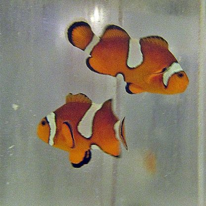 Amphiprion Ocellaris Pair
