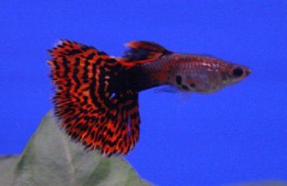 Poecillia reticulata – Guppy Snakeskin Red Delta males