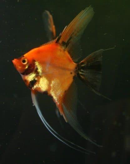 Pterophyllum scalare –  Red Blushing Angelfish