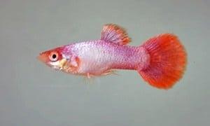 Poecillia reticulata – Guppy Platinum Pink Tail