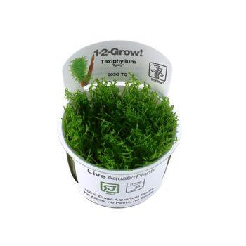 """Tropica taxiphyllum """"Spiky"""" 1-2 grow!!"""
