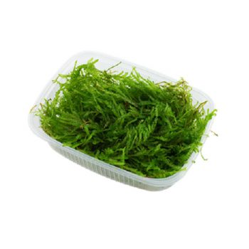TROPICA Vesicularia Ferriei Weeping Moss portion