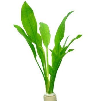Tropica Echinodorus Bleherae