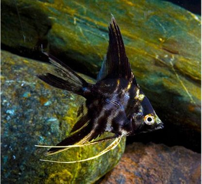 Pterophyllum scalare – Black Marble Angelfish