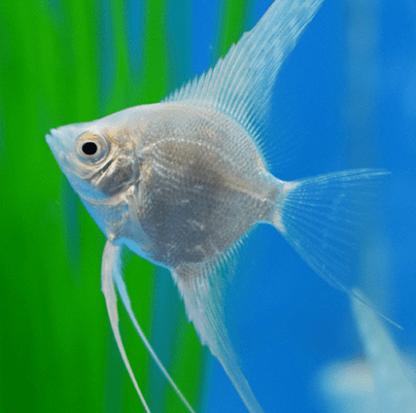 Pterophyllum scalare-  Total White Angelfish
