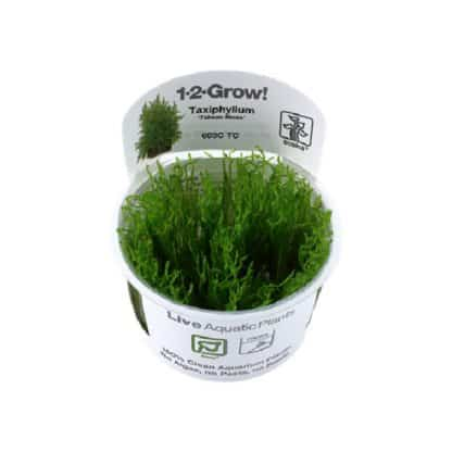 "Tropica Taxiphyllum ""Taiwan"" Moss 1-2 Grow!!"