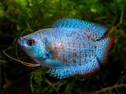 Trichogaster lalia – Neon Blue Dwarf Gourami