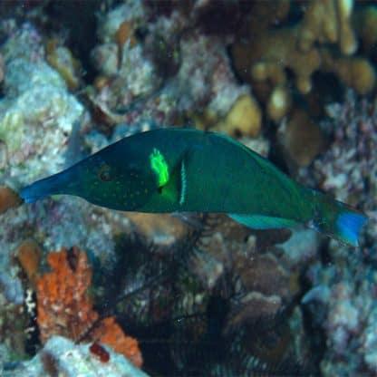 Gomphosus caeruleus green male