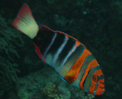 Choerodon fasciatus (m)