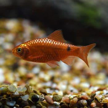 Puntius conchonius– Rosy Barb Fire / Red Metal