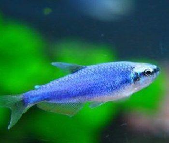 Inpaichthys kerri super blue