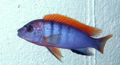 """Pseudotropheus sp. """"red-top ndumbi"""" – Red Top Malawi-Cichlid"""