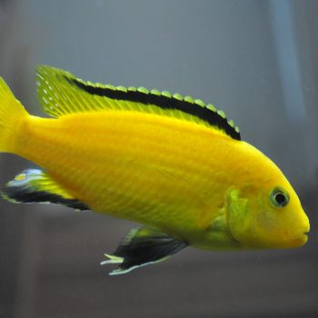 Labidochromis caeruleus 6-7 cm