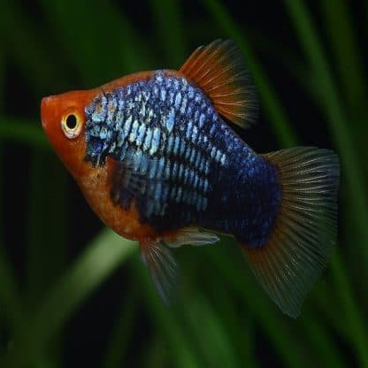 Platy coral mix