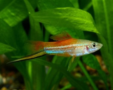 Xiphophorus Swordtail Pineapple