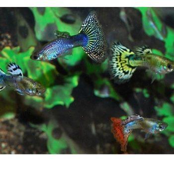 Poecilia reticulata -Guppy Snakeskin Mix