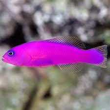 Pseudochromis porphyreus M – Purple Pseudochromis
