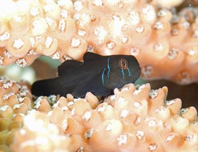 Gobiodon Ceramensis