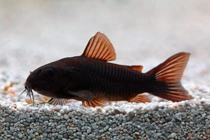 Corydoras Venezuela black