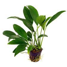 Tropica Anubias barteri angustifolia